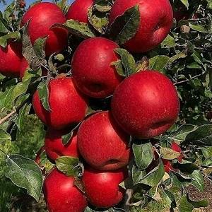 کود نانو سیب