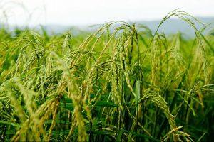 کود نانو برنج
